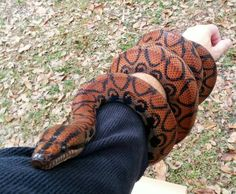 Rainbow boa Reptiles Names, Les Reptiles, Cute Reptiles, Reptiles And Amphibians, Brazilian Rainbow Boa, Terrarium Reptile, Deadly Animals, Colorful Snakes, Rare Fish