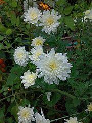 bella rosa fiori a campana photo   bellissimi fiori bianchi