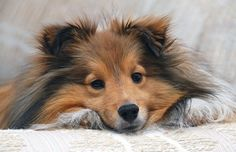 My Children will have this dog! Love Shelties!
