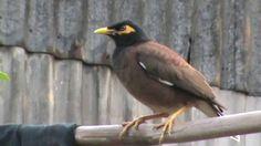 **amazing birds of bangladesh । শালিক**