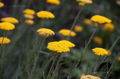 cickafark The Ancient One, Achillea, Witches, Paths, Dandelion, Yard, California, Activities, Nature