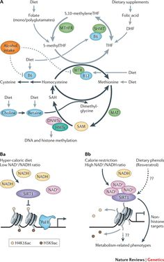 Methylation Cycle | Figure 4 : Epigenetics and the environment: emerging patterns and ...
