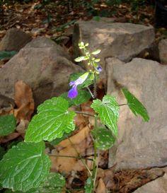 Salvia acerifolia 1