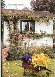 Climbing roses on potting shed.