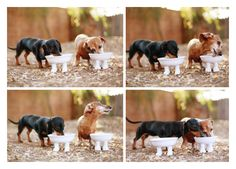 the worlds cutest Dachshunds modeling the new pet bowls! Emily & Rufus | September 2013.  Photo by: Johnny Ortez-Tibbels ©