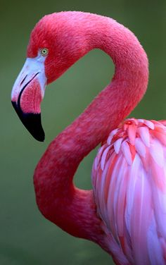 Pink Flamingos.  Are actually white...the coloring of the feathers is a result of the food the flamingo eats. The majority of their diet consists of small shrimp-like crustaceans that contain a chemical called beta-carotene that colors the feathers.