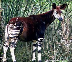 """Okapi Conocida como la """"jirafa cebra"""", el Okapi tiene las piernas de una cebra y el largo cuello de una jirafa. El animal saltó a la fama durante la década de 1800, cuando fueron encontrados por los exploradores británicos – sin embargo, nadie regresó a casa creyendo que una criatura tan extraña podría ser real. Hoy en día, sólo se puede encontrar en la República Democrática del Congo, y sólo quedan de 10.000 a 20.000."""