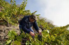 Wine harvest #Galicia