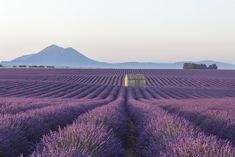 View top-quality stock photos of An Old Barn Amongst The Lavender Fields On The Plateau De Valensole Provence France. Find premium, high-resolution stock photography at Getty Images. Beautiful Roads, Beautiful Places To Visit, La Provence France, Versailles Garden, Valensole, Mont Saint Michel, All Nature, Lavender Fields, Lavander