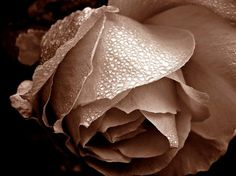 rose sepia photography images - Google Search