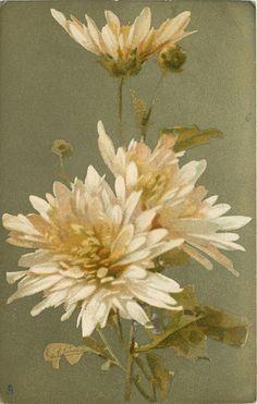White chrysanthemums ~ by Catherine Klein