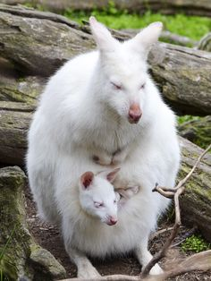 An albino wallaby and young at Gorge Wildlife Park in Australia in 2014. Photograph by Ingrid Van Streepen [1539x2048]. wallpaper/ background for iPad mini/ air/ 2 / pro/ laptop @dquocbuu