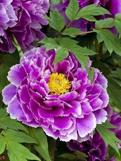 Purple Peony                                                                                                                                                      More