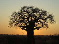 Africa& Great Baobab Tree And The Baobab Fruit Baobab Tree, You May, Tree Of Life, Natural Oils, African, Cold, Sunset, Nature, Trees