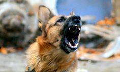 Nice shot - Alsatian dog - by Jovan Bozuta