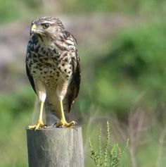 """Another Pic of the """"Brown Shouldered Hawk"""""""