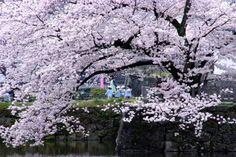 265:「小田原城址公園の馬出門前の桜を学橋から見ると、園児がまるで桜につつまれている様に散歩しているのが見えました。」@小田原城址公園