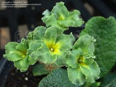 Full size picture of Gold-Laced Primrose, Polyanthus Primrose 'Green Lace' (Primula x polyantha)