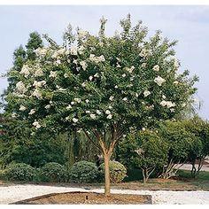 Image result for large crepe myrtle tree