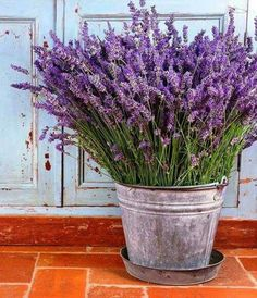 Lavender,HERB,English (Lavandula Angustifolia – Vera) Organic, Open pollinated Garden Herb Seeds - How to Grow Garden Herb Garden, Garden Plants, Indoor Plants, Potted Plants Patio, Roses Garden, Fruit Garden, Hanging Plants, Air Plants, How To Propagate Lavender