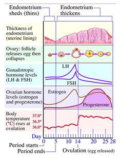 about Menstrual Cycle on Pinterest   Menstrual Cycle, Menstrual Cycle ...
