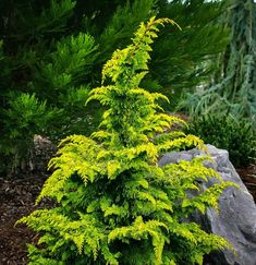 Mail Order Conifer Nursery of Dwarf and Miniature Conifers, Japanese Maples, Bonsai, and Fairy Garden Plants. Visitors welcome by appointment, call ahead Thuja Occidentalis, Landscaping With Rocks, Backyard Landscaping, Landscaping Ideas, Dwarf Trees For Landscaping, Coastal Landscaping, Backyard Plants, Backyard Ideas, All Plants