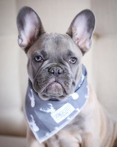 May your coffee be strong but your Monday be short Bandana by @waggedwear. Use code greyson10 for 10% off. Every bandana bought will feed a puppy in a shelter by greysonthedapperfrenchie