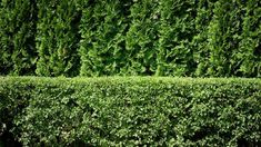 Privacy fence created with Arborvitae