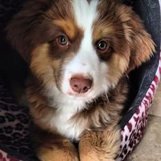 And everything in between…   19 Reasons Australian Shepherds Are The Best-Looking Dogs In The World