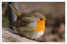 Sweet little Robin Red Breast..