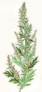 This plant is sometimes connected to the Moon because it enhances dreams, especially of the prophetic sort, and helps with lucid dreaming. This magick herb can be stuffed into dream pillows or drunk as a tea for dream enhancement and is often included in modern flying ointments. Along similar lines, it is often utilized to consecrate and dress instruments for divination, like crystal balls and scrying mirrors, and is said to aid in astral travel and generally with out-of-body experiences.