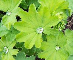 Leaves of Common Lady's Mantle with water drops on the upper surface Flora Garden, Orange Crush, Healing Herbs, Medicinal Plants, Destiel, Health And Nutrition, Mother Nature, Natural Remedies, Herbalism