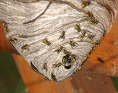 Wasp Nest | need a wasp nest removed in fort worth tx then you ve come to the ...