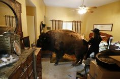 Another house bison