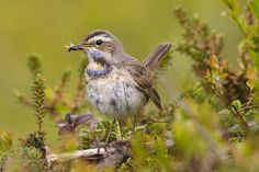 Bluethroat (Luscinia svecica) female by eskorantanen via http://ift.tt/2cBXHyp
