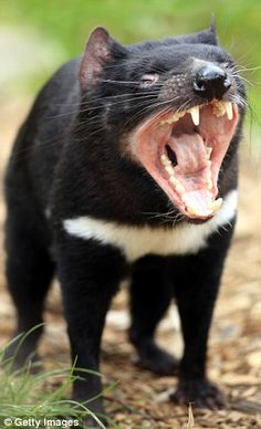 There are now species on the IUCN Red List, and of them are endangered species threatened with extinction including the Tasmanian devil Unusual Animals, Rare Animals, Animals Beautiful, Animals And Pets, Strange Animals, Tasmanian Devil, Tasmanian Tiger, Magnificent Beasts, Australia Animals