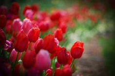 Tulips, Thanksgiving Point Gardens, Lehi, Utah by © raspberrytart, via Flickr.com.