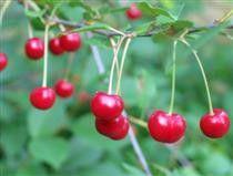 Prunus cerasus 'Kirsa', Buskkörsbär. 1-1,2 m hög buske. Sjävfertil. Zon: III-IV