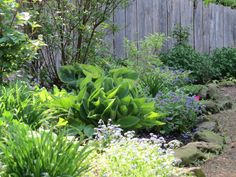 """Frances Williams"" hosta emerging in spring along with sweet woodruff and lungwort. Check out GreenLeafGardens on Etsy: https://www.etsy.com/shop/GreenLeafGardens?ref=hdr_shop_menu"