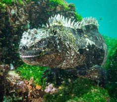 My favourite Imp of Darkness. Galapagos marine iguana 😍.