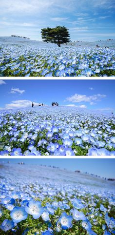 Hitachi Seaside Park in Ibaraki Prefecture is blanketed in a sea of blue blossoms.