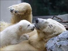 Mom and Baby Polar Bears in a ZOO which in a few years that's Going to be the ONLY PLACE THEY WILL be due to GLOBAL WARMING Melting the ice!!! POLAR BEARS CAN'T EAT WITHOUT ICE!! The seals live and play on the ICE! The Bears Ear The Seals!!! SOOO, Polar Bears Need Ice to LIVE!! ALL YOU IDIOT'S THAT DON'T BELIEVE IN GLOBAL WARMING, DO YOU UNDERSTAND THIS???