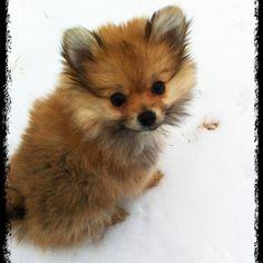 Yorkie Pom cross = Porkie; it looks like a baby fox!!