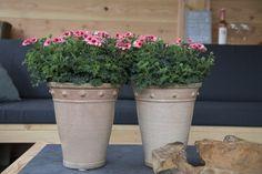 Angeleyes Orange #Angel #Pelargonium #garden #plants #flowers