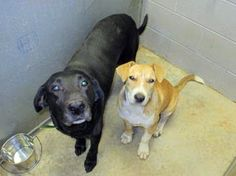 8/6/14 UPDATE! THEY HAVE GOTTEN SICK IN THE SHELTER! THEY MUST GET OUT ASAP OR WILL BE KILLED! Beautiful bonded pair, out of time at high-kill shelter, must remain together, SC