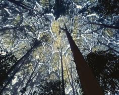 crown shyness: the uppermost branches of certain tree species don't like to touch one another - Crown Shyness Trees