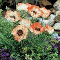 hardy perennials   HARDY PERENNIAL PLANT,LARGE RUFFLED ORANGE/WHITE FLOWERS!