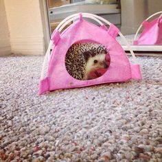 Penelope the Hedgehog! <<< This is way 2 cute. The pink tent? Hedgehog Care, Pygmy Hedgehog, Baby Hedgehog, Hedgehog Animal, Cage Hamster, Animals And Pets, Funny Animals, Cute Little Animals, Hamsters