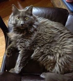 Handsome and affectionate longhair grey cat for adoption to loving home in Brooklyn. Find My Pet, Nebelung Cat, Kinds Of Cats, Friesian Horse, Grey Cats, Cat Breeds, Pet Adoption, Brooklyn, Dog Cat
