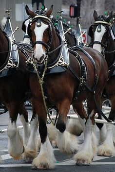 The Clydesdale is a breed of draught horse derived from the farmhorses of Clydesdale Scotland, and named after that region.
